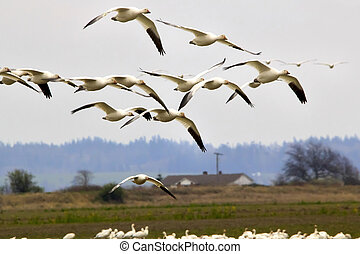 Snow Geese Flying Skagit County Washington
