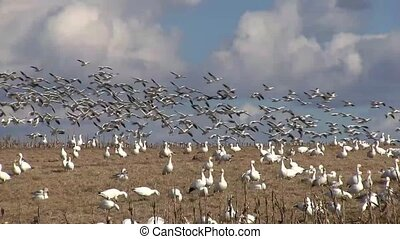 Snow Geese Flying - Snow Geese fly from a hilltop in...