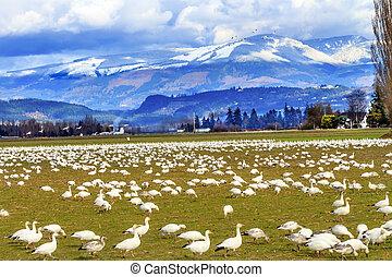 Snow Geese Feeding Snow Mountains Skagit Valley Washington