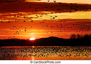 Snow Geese Take Flight at Sunrise - Thousands of migrating...