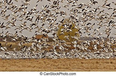 Snow Geese taking flight from Saskatchewan pond