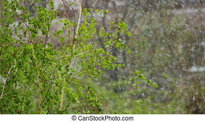 Snow goes and Snowstorm Sweeps over the Green Trees in...