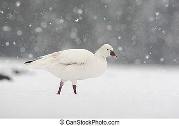 Snow goose, Anser caerulescens, single captive bird in snow ...