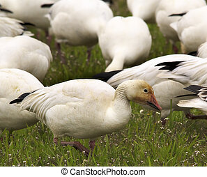 Snow Goose Feeding Close Up Skagit County Washington