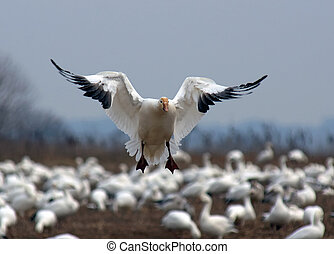 A single Snow Goose landing among a flock of geese.