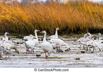Snow Goose, migratory bird close up