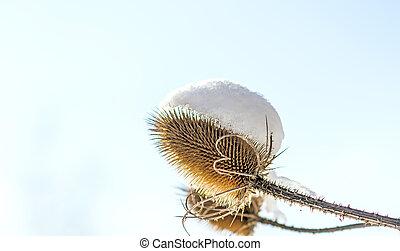 snow-hat on teasel