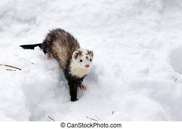 snow., hurón