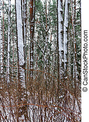 Snow in piny and fir forest. Snowy winter weather.