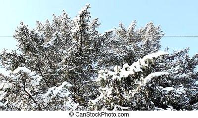 snow in tree branch