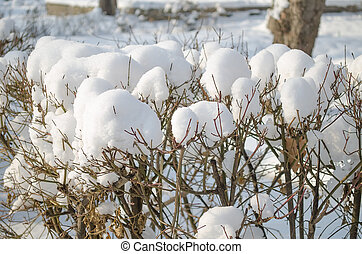 Snow in winter on the bushes on a sunny day