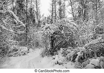 Snow in winter wood. - Snow cover in winter forest.