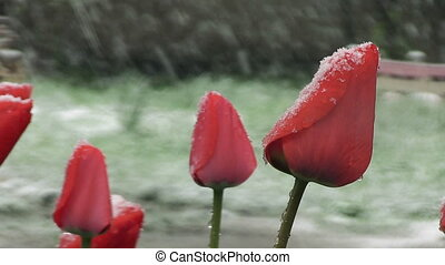 Snow is spring. Wet snow falls on the buds of red tulips