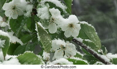 Snow is spring. Wet snow falls on the green leaves and flowers