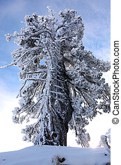 Snow laden tree