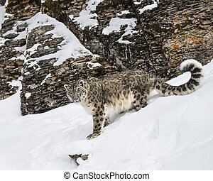 Snow Leopard adult - Snow Leopard in the snow and rocks