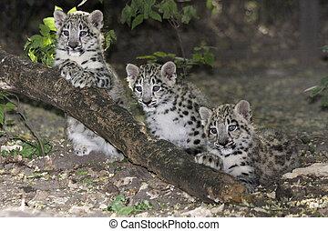 Snow leopard babies