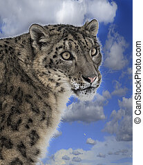Snow Leopard close up on top of a hill against the blue sky