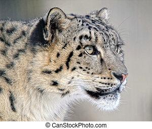 Close up protrait of a Snow (Amur) Leopard