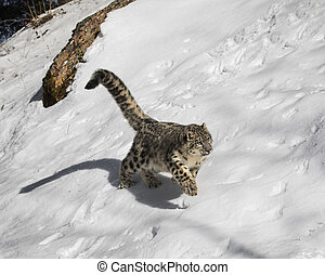 Snow Leopard Cub in the snow