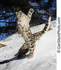 Snow Leopard Cub leaping in to the air