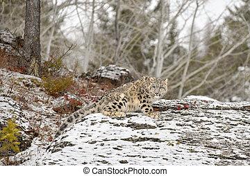Snow Leopard Cub on a Rocky Ledge