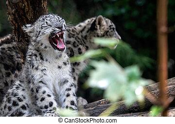 Snow leopard cub, Panthera uncia