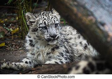 Snow leopard cub (Panthera uncia). Young snow leopard.