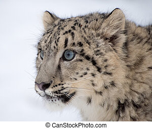 Snow Leopard Cub Portrait on Isolated White Background