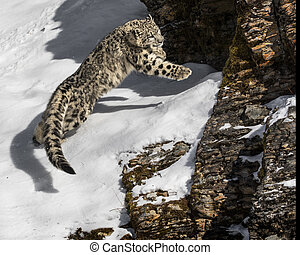 Snow Leopard Cub. - Snow Leopard Cub in the winter.