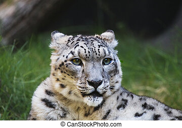 Snow leopard grass wood