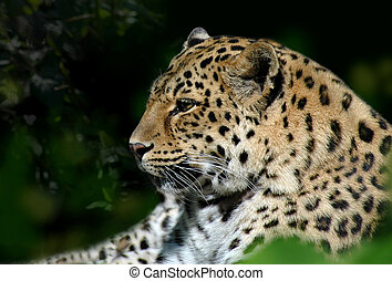 Head of resting snow leopard