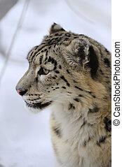 Snow leopard, low DOF portrait