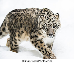 Snow Leopard on the Prowl IV