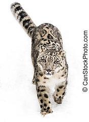 Snow Leopard on the Prowl IX