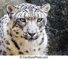 Snow leopard (Panthera uncia) portrait