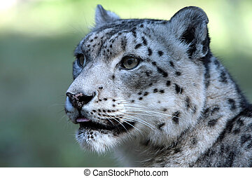 Snow leopard looking to the left