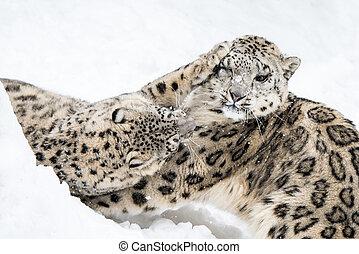 Snow Leopard Squabble