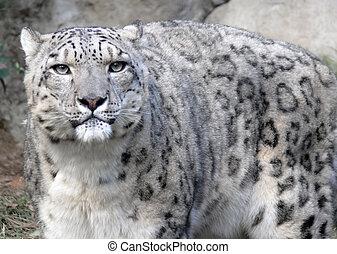 staring snow leopard