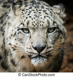 Snow Leopard VIII