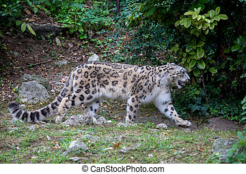 Snow leopard walking in the forest in the summer season