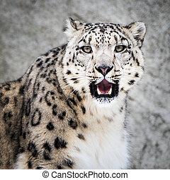 Snow Leopard XIII