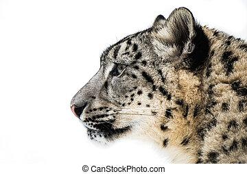 Snow Leopard XV