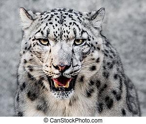 Snow Leopard XXVII