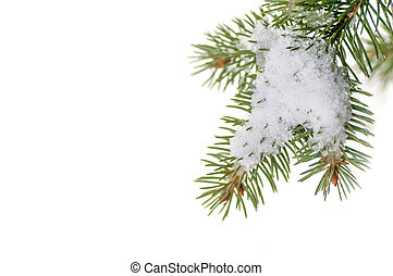 snow lies on the pine branch