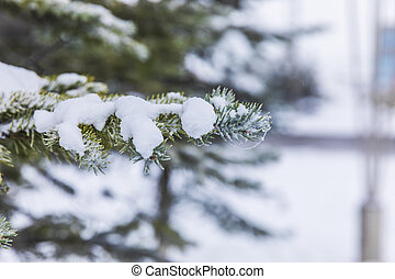 Snow lying on the branches of a Christmas tree