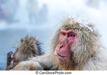 Snow monkey Macaque Onsen - Japanese Snow monkey Macaque in ...