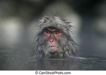 Snow monkey or Japanese macaque, Macaca fuscata, single ...