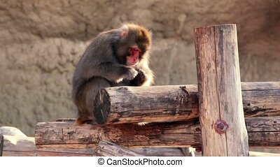 Snow monkey sits on wooden logs and eats, at sunny day in...