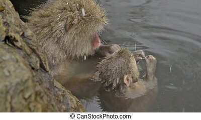 Snow monkeys relaxing in hot-spring - Snow monkeys relaxing...